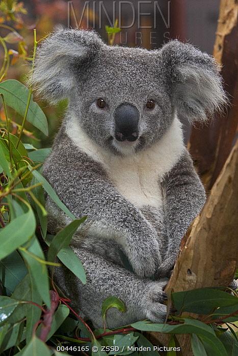 Koala (Phascolarctos cinereus), native to Australia  -  ZSSD