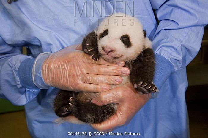 Giant Panda (Ailuropoda melanoleuca) baby held by zoo staff, native to China  -  ZSSD