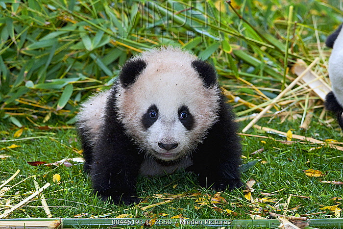 Giant Panda (Ailuropoda melanoleuca) cub, native to China  -  ZSSD