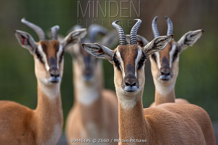 Soemmerring's Gazelle (Nanger soemmerringii) males and females, native to Africa  -  ZSSD