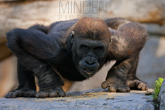 Western Lowland Gorilla (Gorilla gorilla gorilla) juvenile leaning on knuckles, native to Africa  -  ZSSD
