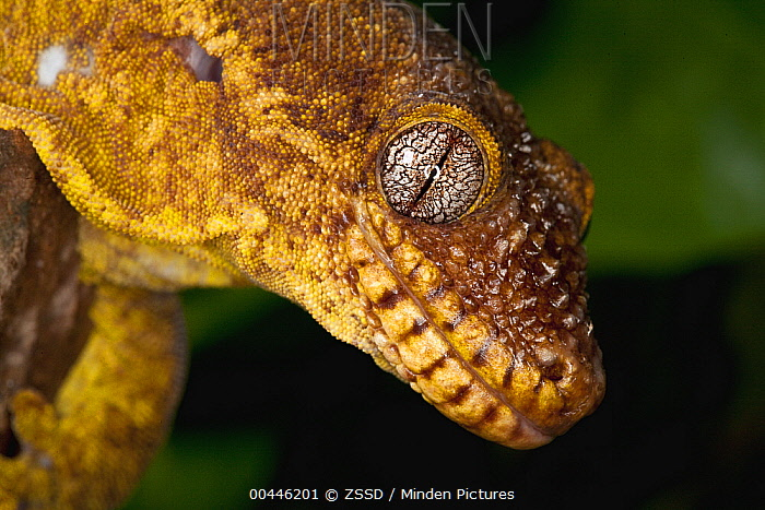 Gecko (Gekkonidae) close up showing vertical pupil, native to the Tropics  -  ZSSD