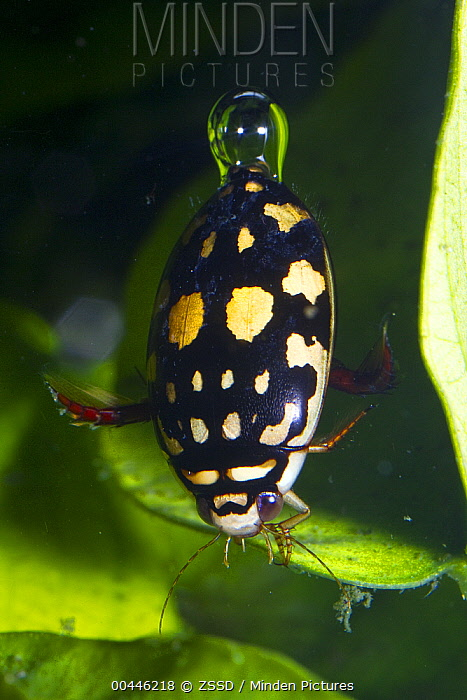 Sunburst Diving Beetle (Thermonectus marmoratus) underwater with air bubble, native to North America  -  ZSSD