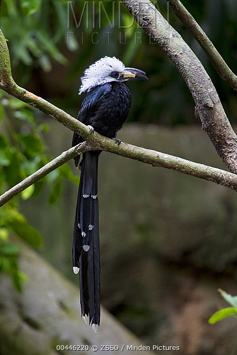 White-crested Hornbill (Tockus albocristatus), native to Africa  -  ZSSD