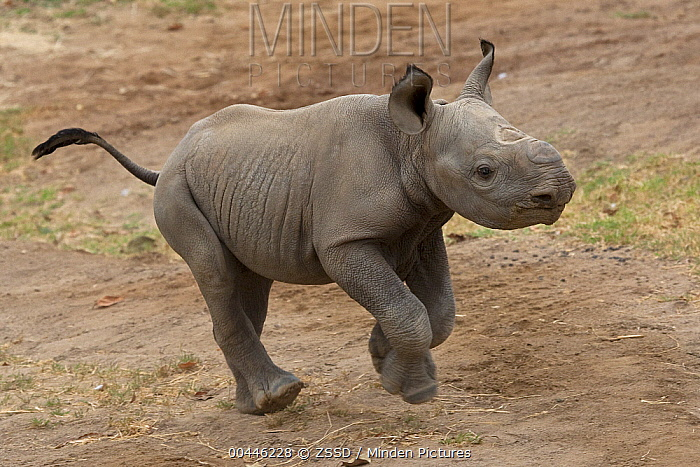 Indian Rhinoceros (Rhinoceros unicornis) calf running, native to Asia  -  ZSSD