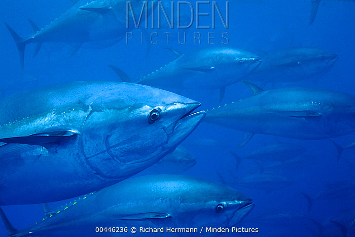 Atlantic Bluefin Tuna (Thunnus thynnus) shoal, Mediterranean Sea of the coast of Turkey  -  Richard Herrmann
