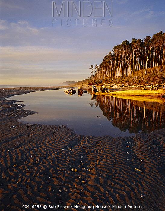 New Zealand Red Pine (Dacrydium cupressinum) forest along coast, Bruce Bay, western New Zealand  -  Rob Brown/ Hedgehog House