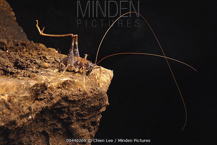 Cave Cricket (Rhaphidophora oophaga), Gunung Mulu National Park, Malaysia  -  Ch'ien Lee