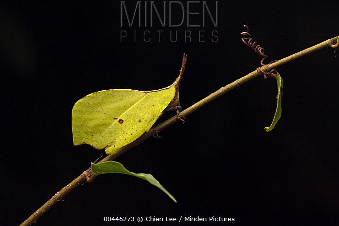 Grasshopper (Systella sp) leaf-mimic, Gunung Mulu National Park, Malaysia  -  Ch'ien Lee