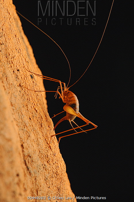 Cave Cricket (Diestrammena sp) pushing her ovipositor into the spongy surface of the limestone cave to lay eggs, Gunung Mulu National Park, Malaysia  -  Ch'ien Lee