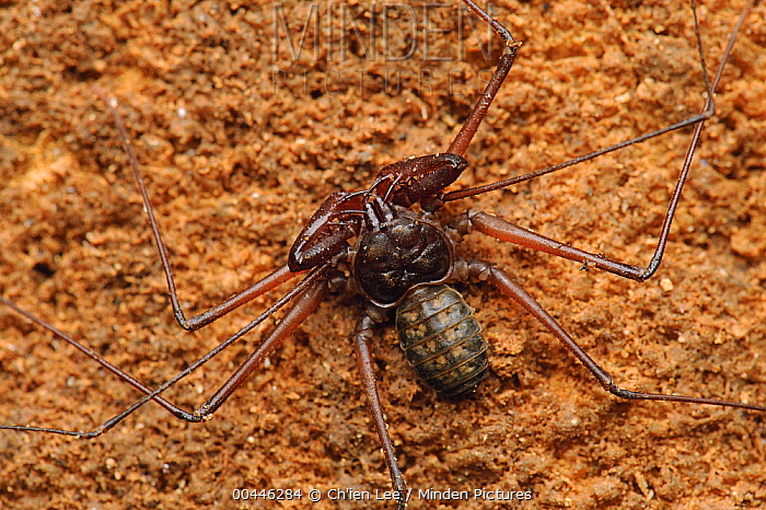 Tailless Whip Scorpion from a limestone cave in Gunung Mulu National Park, Malaysia  -  Ch'ien Lee