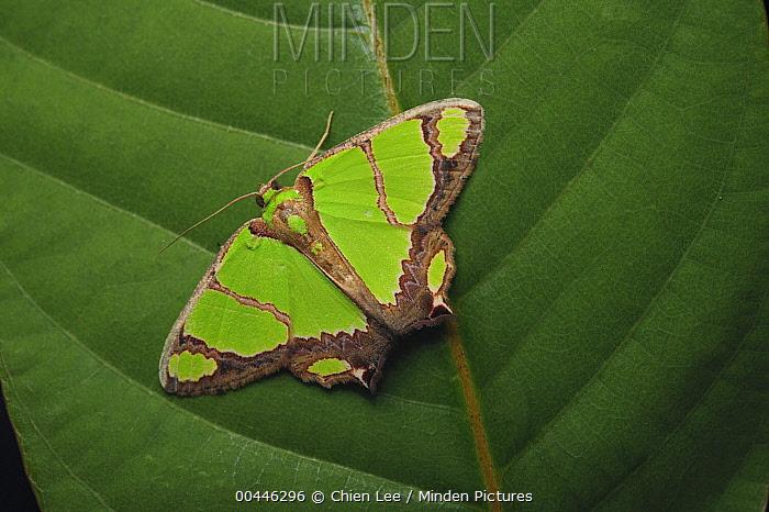 Looper Moth (Agathia sp), Sarawak, Bukit Sarang Conservation Area, Malaysia  -  Ch'ien Lee