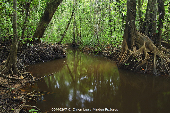 Tannin-colored stream meanders through freshwater swamp forest, Bukit Sarang Conservation Area, Malaysia  -  Ch'ien Lee