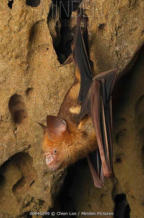 Diadem Roundleaf Bat (Hipposideros diadema) roosting, Bukit Sarang Conservation Area, Malaysia  -  Ch'ien Lee