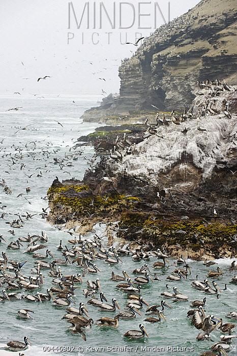 Peruvian Pelican (Pelecanus thagus) and mixed seabird feeding flock, Pucusana, Peru  -  Kevin Schafer
