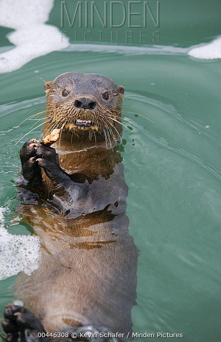 Marine Otter (Lontra felina) feeding, Chiloe Island, Chile  -  Kevin Schafer