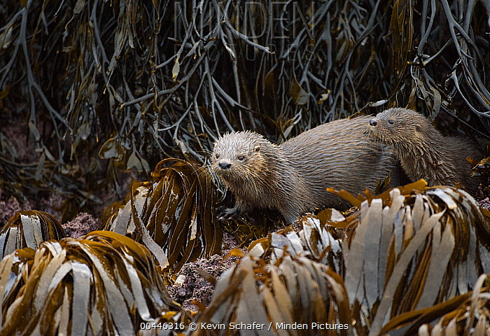 Marine Otter (Lontra felina) mother and pup in kelp bed, Chiloe Island, Chile  -  Kevin Schafer