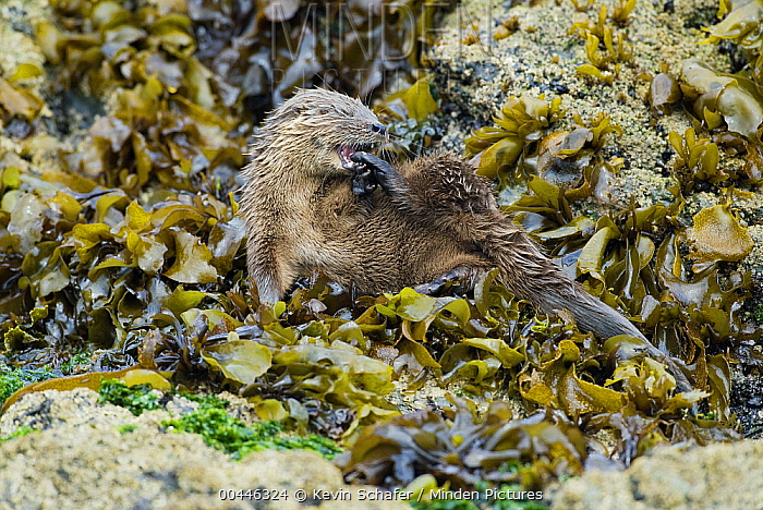 Marine Otter (Lontra felina) grooming in kelp bed, Chiloe Island, Chile  -  Kevin Schafer