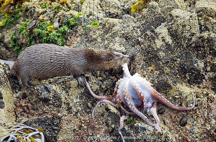 Marine Otter (Lontra felina) female eating octopus on shore, Chiloe Island, Chile  -  Kevin Schafer