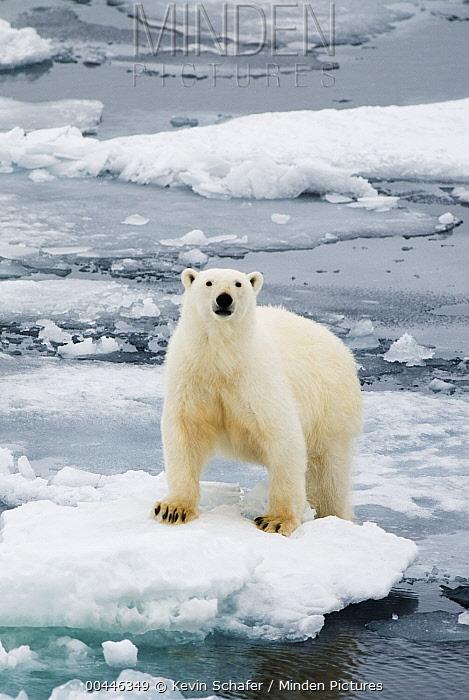 Polar Bear (Ursus maritimus) on ice floe, Svalbard, Norway  -  Kevin Schafer