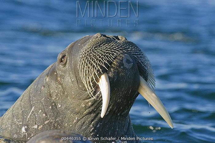 Atlantic Walrus (Odobenus rosmarus rosmarus), Svalbard, Norway  -  Kevin Schafer