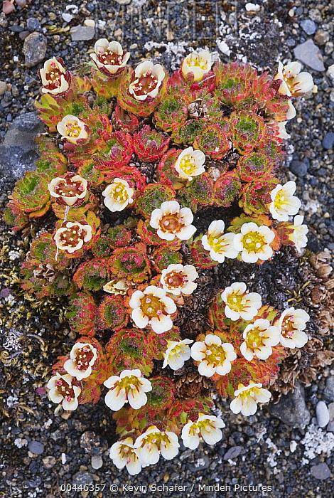 Tufted Saxifrage (Saxifraga cespitosa) flowering, Svalbard, Norway  -  Kevin Schafer