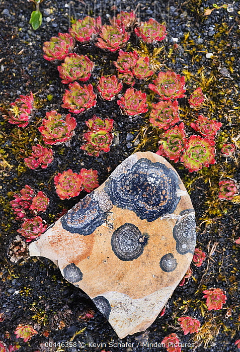 Tufted Saxifrage (Saxifraga cespitosa) and lichen-covered rock, Svalbard, Norway  -  Kevin Schafer