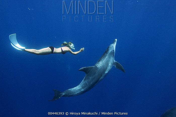 Indo-pacific Bottlenose Dolphin (Tursiops aduncus) and diver, Ogasawara Island, Japan  -  Hiroya Minakuchi