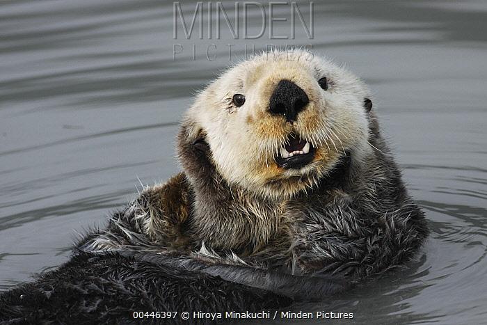 Sea Otter (Enhydra lutris) grooming, Kenai Fjords, Alaska  -  Hiroya Minakuchi