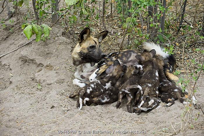 African Wild Dog (Lycaon pictus) mother suckling five week old pups, northern Botswana  -  Suzi Eszterhas