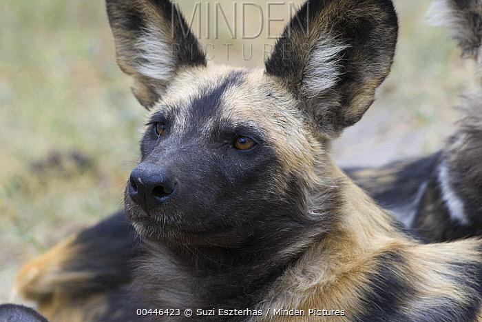 African Wild Dog (Lycaon pictus), northern Botswana  -  Suzi Eszterhas