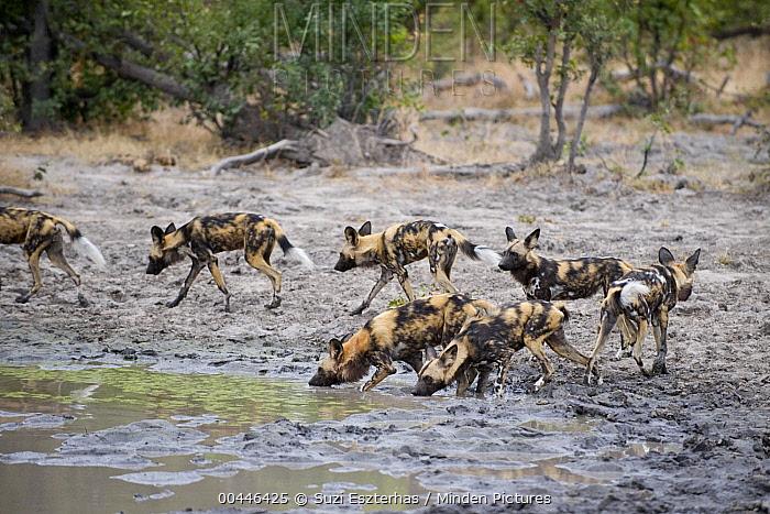 African Wild Dog (Lycaon pictus) drinking at waterhole, northern Botswana  -  Suzi Eszterhas