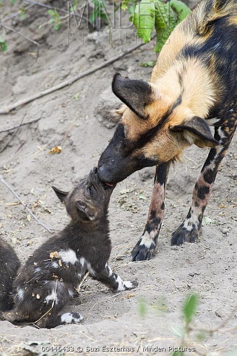 African Wild Dog (Lycaon pictus) adult greeting six week old pup, northern Botswana  -  Suzi Eszterhas
