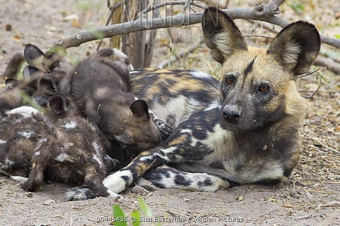 African Wild Dog (Lycaon pictus) mother suckling six week old pups, northern Botswana  -  Suzi Eszterhas