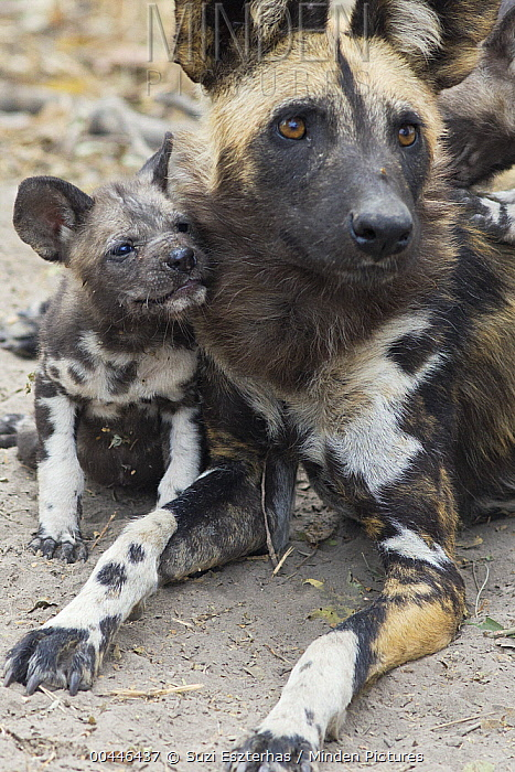 African Wild Dog (Lycaon pictus) adult with six week old pup, northern Botswana  -  Suzi Eszterhas