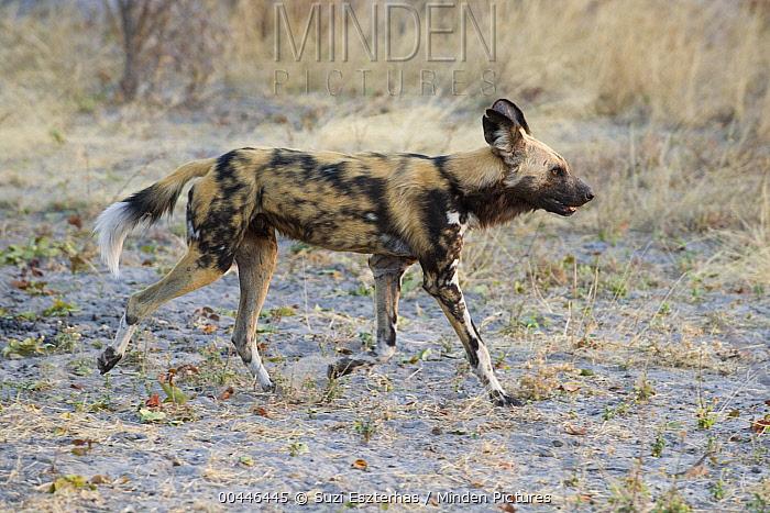 African Wild Dog (Lycaon pictus) running, northern Botswana  -  Suzi Eszterhas