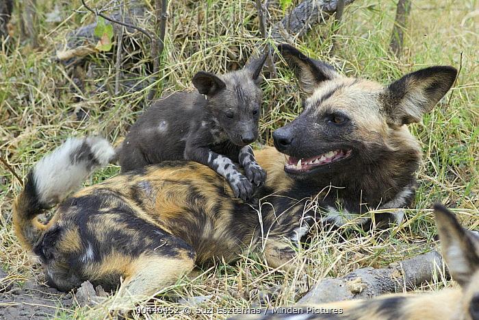 African Wild Dog (Lycaon pictus) six week old pup climbing on adult, northern Botswana  -  Suzi Eszterhas