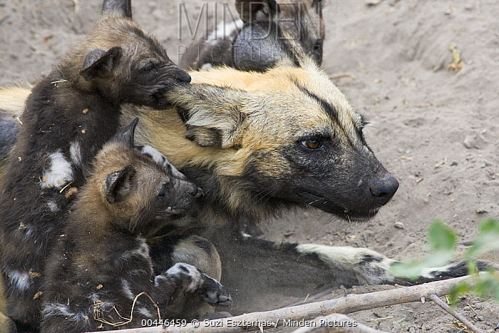 African Wild Dog (Lycaon pictus) six week old pups climbing on mother and biting her ear, northern Botswana  -  Suzi Eszterhas