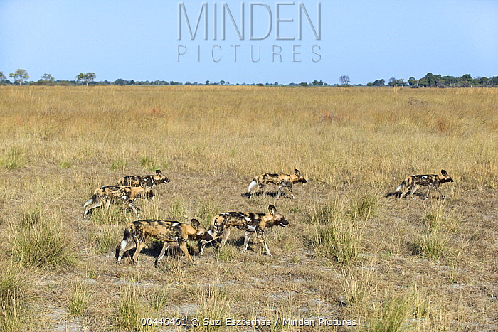 African Wild Dog (Lycaon pictus) pack on the hunt, northern Botswana  -  Suzi Eszterhas