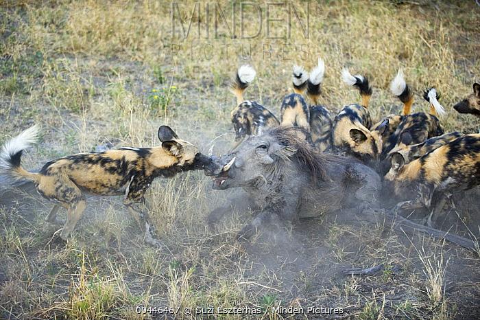 African Wild Dog (Lycaon pictus) pack attacking Warthog (Phacochoerus africanus), northern Botswana  -  Suzi Eszterhas