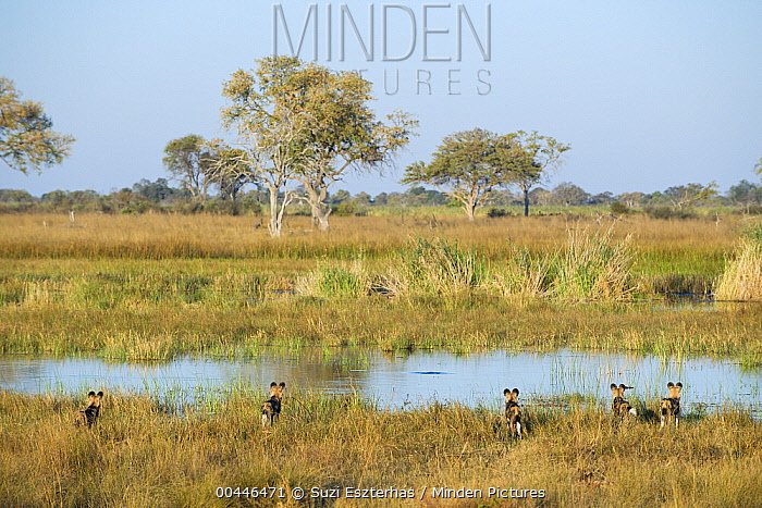 African Wild Dog (Lycaon pictus) group watching crocodiles in river, northern Botswana  -  Suzi Eszterhas