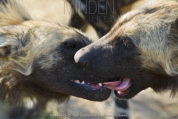 African Wild Dog (Lycaon pictus) pair greeting, northern Botswana  -  Suzi Eszterhas