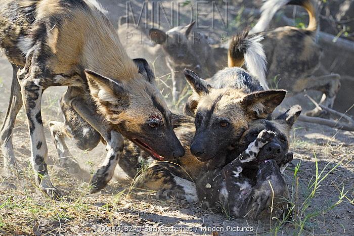 African Wild Dog (Lycaon pictus) adults greeting eight week old pup, northern Botswana  -  Suzi Eszterhas