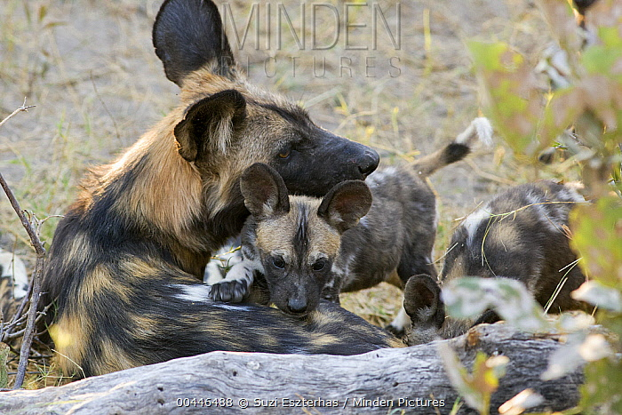 African Wild Dog (Lycaon pictus) and eight week old pup, northern Botswana  -  Suzi Eszterhas