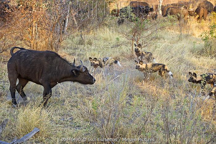 African Wild Dog (Lycaon pictus) pack cornering Cape Buffalo (Syncerus caffer), northern Botswana  -  Suzi Eszterhas