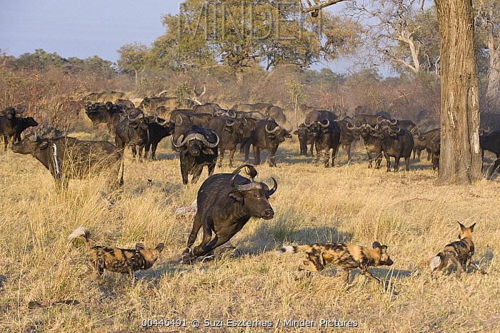African Wild Dog (Lycaon pictus) trio chased by Cape Buffalo (Syncerus caffer), northern Botswana  -  Suzi Eszterhas