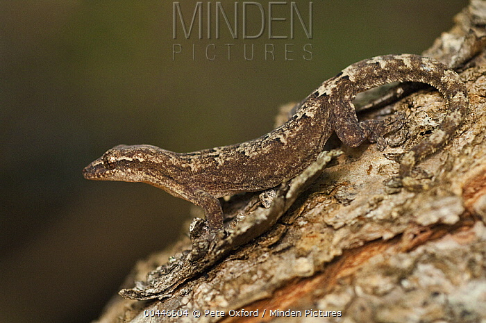 Galapagos Leaf-toed Gecko (Phyllodactylus galapagensis) camouflaged on tree bark, Puerto Ayora, Santa Cruz Island, Galapagos Islands, Ecuador  -  Pete Oxford
