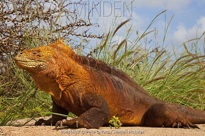 Galapagos Land Iguana (Conolophus subcristatus), Baltra Island, Galapagos Islands, Ecuador  -  Pete Oxford