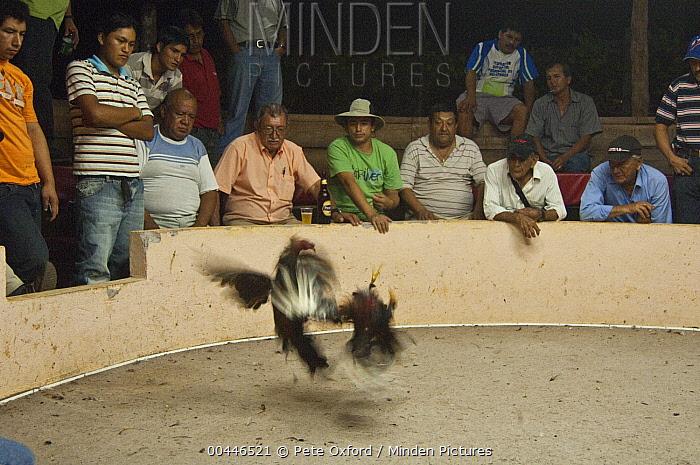 Domestic Chicken (Gallus domesticus) males cock fighting, Puerto Ayora, Santa Cruz Island, Galapagos Islands, Ecuador  -  Pete Oxford