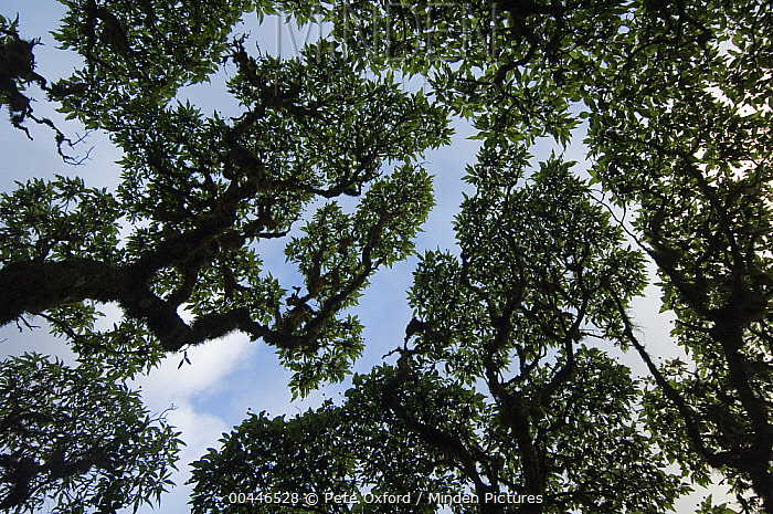 Scalesia (Scalesia pedunculata) forest showing crown shyness, highlands of Santa Cruz Island, Galapagos Islands, Ecuador  -  Pete Oxford